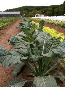 Warner Farm_Kale_Greens
