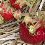 U-pick strawberries at Warner Farm