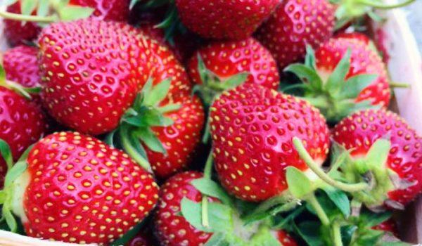 Warner Farm strawberries
