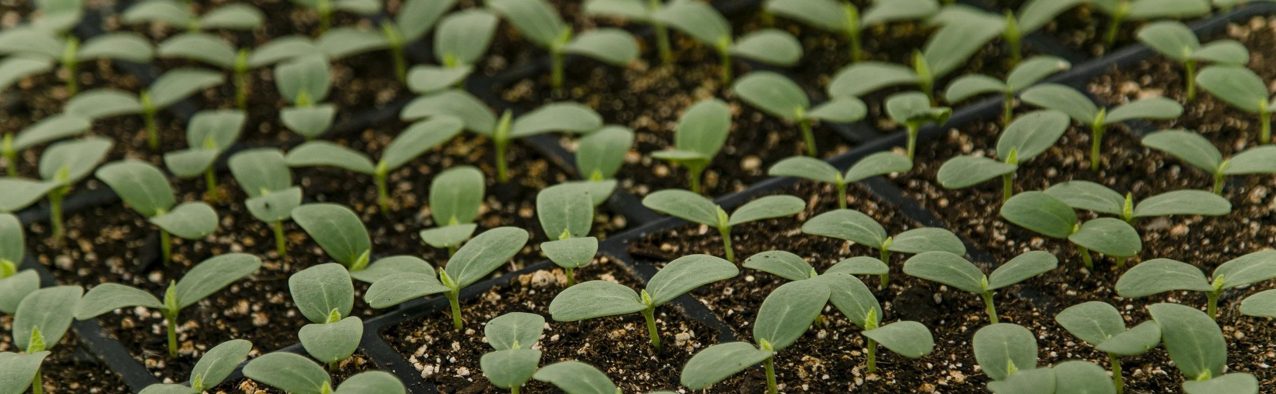 Seedlings 4 wholesale